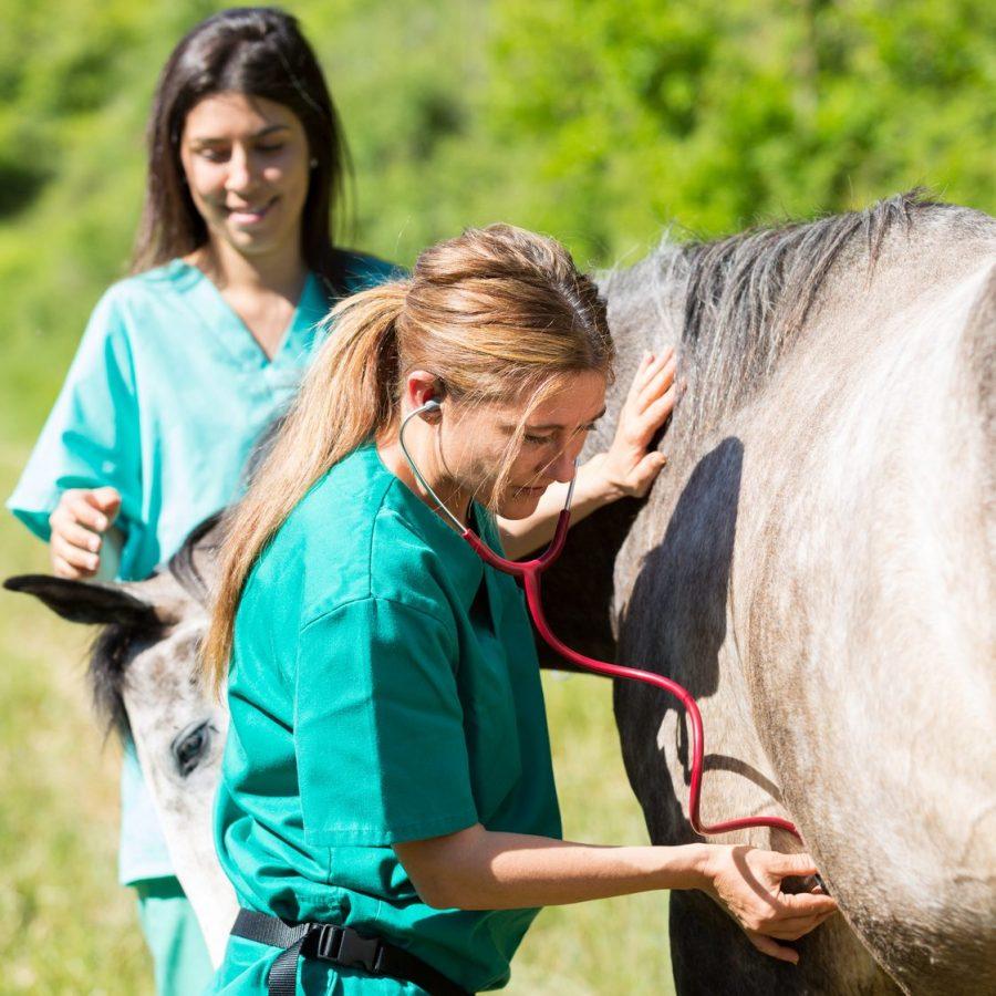 Tierarzt untersucht Pferd Kolik