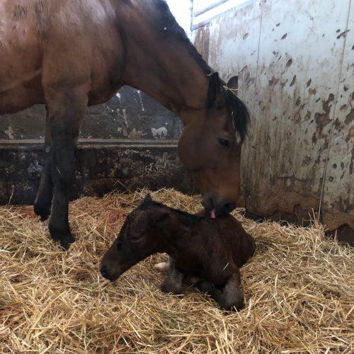 Mutterglück: Die Geburt eines Fohlens